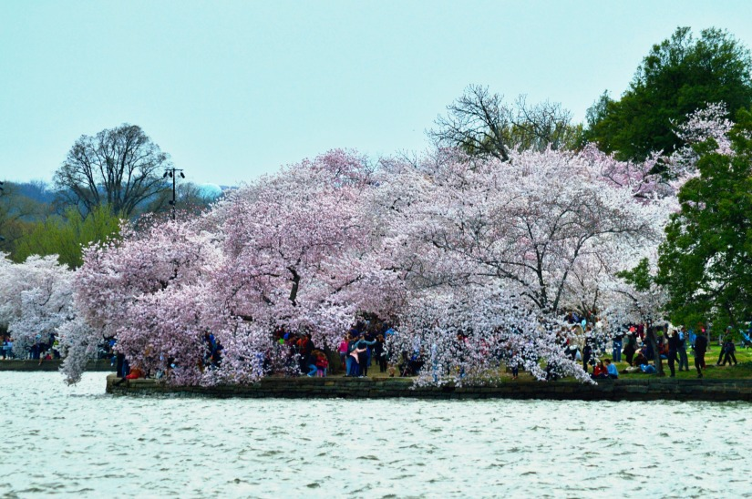drooping cherry blossoms