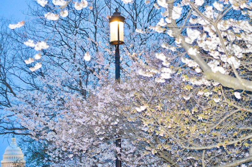 lampost blossoms